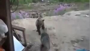 el oso ataca a  personas