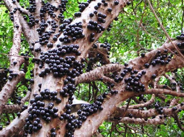 02 El Jaboticaba su fruto se crece directamente en su tallo