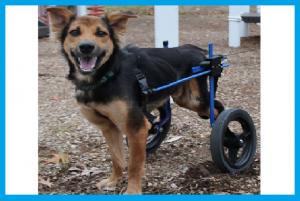 Leo el perro discapacitado  5