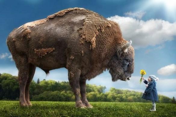 Niña dando de comer a bisonte gigante