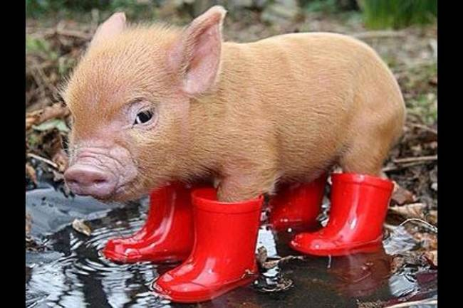 011 cerdo con botas