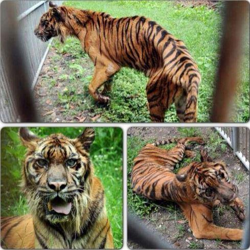 Zoo de la Muerte – Felinos enfermos y con signos de desnutrición