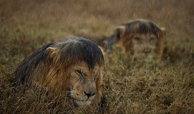 05 leones bajo la lluvia
