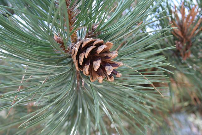 07 semilla de pino