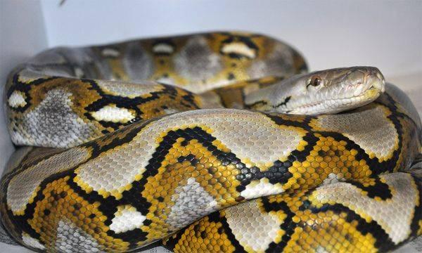 2 la serpiente virgen embarazada