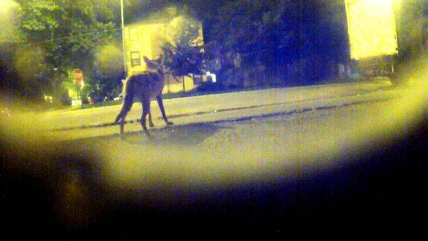 8 Coyotes Downtown